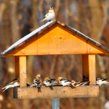 Un hiver aux oiseaux à Cap-Tourmente